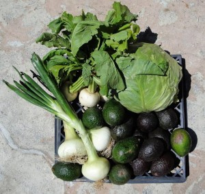 Farmer's Market Avocados Japanese Turnips Sweet Onions Cabbage